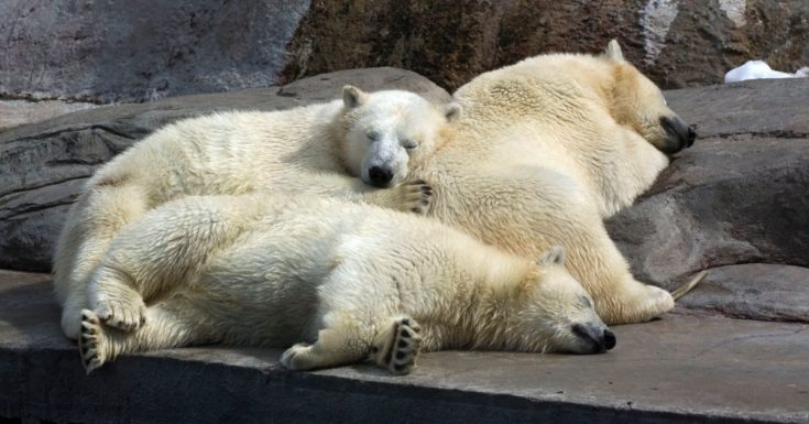 Toronto CityPASS Review - picture of 3 polar bears sleeping